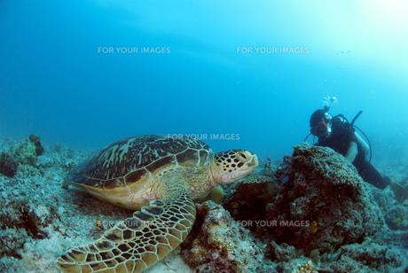 ウミガメの写真素材 [FYI00271574]