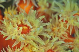 黄色した珊瑚の仲間の素材 [FYI00271603]