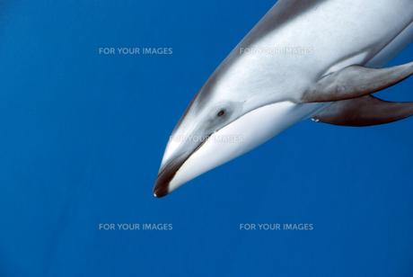 イルカの写真素材 [FYI00271625]