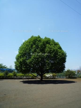 大木の素材 [FYI00271652]