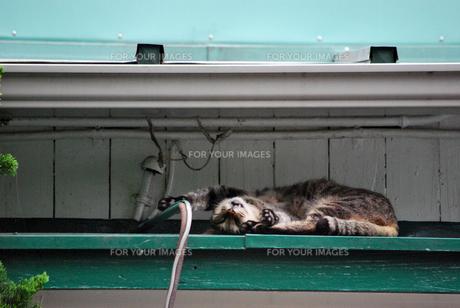 屋根の上の野良猫の写真素材 [FYI00271815]
