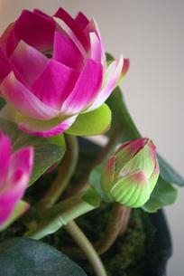 蓮の花の写真素材 [FYI00271851]