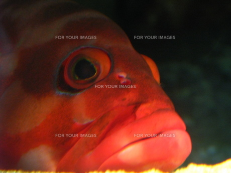 赤ハタの写真素材 [FYI00272958]