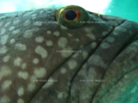 魚の目の写真素材 [FYI00272960]