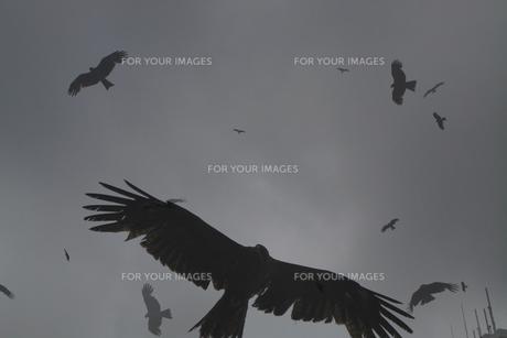 飛び交うトンビの写真素材 [FYI00272962]