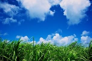 サトウキビ畑の写真素材 [FYI00272991]