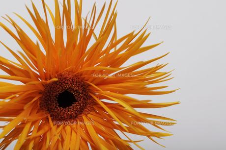 花の写真素材 [FYI00273456]