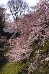 桜の写真素材 [FYI00273621]