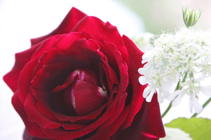 バラの花の写真素材 [FYI00273639]