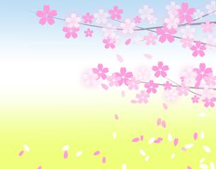 櫻の写真素材 [FYI00276301]
