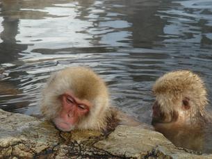 リラックスした猿の表情の写真素材 [FYI00277813]
