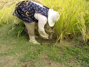 鎌で稲刈りをするシニア女性の写真素材 [FYI00277824]