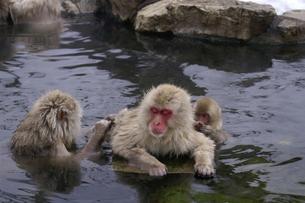 スパのような猿の毛繕いの写真素材 [FYI00277825]