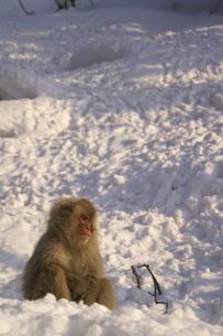 雪上に座る1匹の子ザルの写真素材 [FYI00277849]