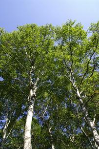青空と葉の茂ったシラカバの木立の写真素材 [FYI00277878]