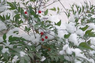 雪の中の南天の実の写真素材 [FYI00277916]