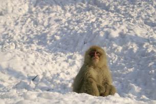 雪の上に座る子猿の素材 [FYI00277932]