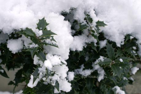雪の積もった柊の葉の写真素材 [FYI00277933]