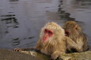 お風呂で毛繕いする猿の写真素材 [FYI00277942]