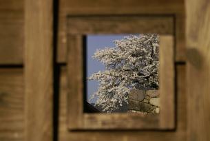 窓枠の中の桜と石垣の写真素材 [FYI00277995]