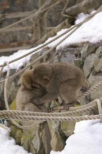 顔を寄せる仲良しの子猿 2匹の写真素材 [FYI00278000]