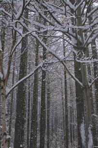 雪の積もった木立の写真素材 [FYI00278008]