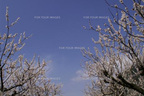 春の空と両脇の杏の木の写真素材 [FYI00278091]