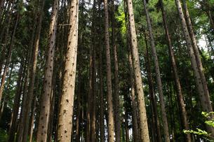 杉林の剪定された杉の木の写真素材 [FYI00278110]