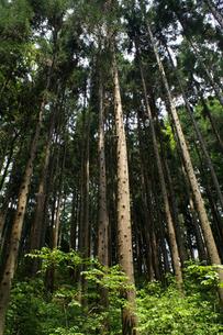高く伸びる杉の木の写真素材 [FYI00278123]