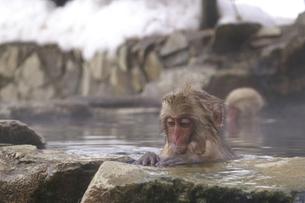 淵につかまって入浴する子猿の写真素材 [FYI00278136]