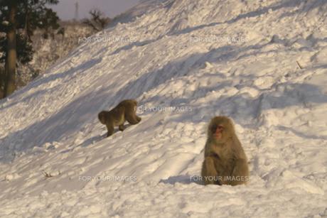 日暮の雪上にしゃがみこむ猿の素材 [FYI00278147]