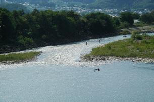 千曲川とあゆを狙う鳶の写真素材 [FYI00278218]