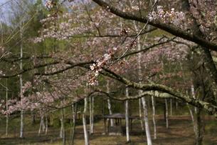 ほころび始めた高原の桜 (横)の写真素材 [FYI00278235]