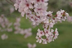 枝先のピンクの桜の花の写真素材 [FYI00278236]