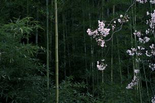 枝垂れる桜と竹林の写真素材 [FYI00278247]