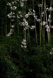 竹林と枝垂れる桜の写真素材 [FYI00278254]