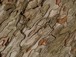 赤松の樹皮の素材 [FYI00278303]
