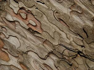 赤松の木の皮の素材 [FYI00278304]