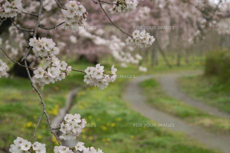 小路の脇の桜の写真素材 [FYI00278338]