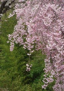 笹の葉バックの満開の枝垂れ桜の写真素材 [FYI00278359]