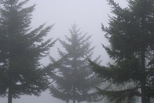 モノトーンな霧の中の針葉樹 (横) の素材 [FYI00278360]