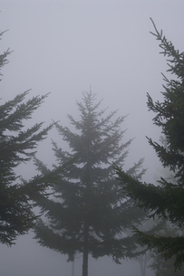 モノトーンな霧の中の針葉樹 (縦) の素材 [FYI00278361]