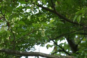 小枝に生る小さなエゴノキの実の写真素材 [FYI00278395]