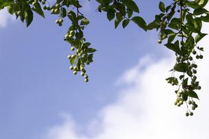 下がるエゴノキの実と葉の写真素材 [FYI00278399]