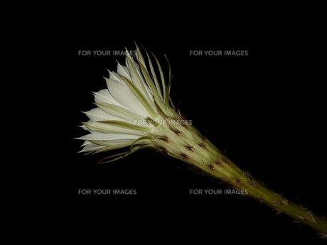 左向きの白いサボテンの花の写真素材 [FYI00278484]