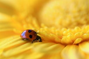 黄色のガーベラとてんとう虫の写真素材 [FYI00278517]