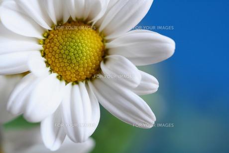 スプレー菊の写真素材 [FYI00278524]