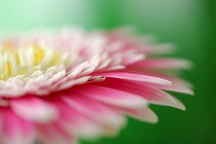 ピンクのガーベラの写真素材 [FYI00278525]