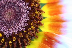 花輪菊の写真素材 [FYI00278558]