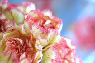 ピンクとクリーム色のカーネーションの写真素材 [FYI00278575]